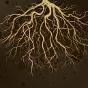 Des Racines Saines Pour Les Plantes De Cannabis