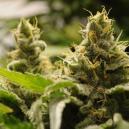 Top 5 Des variétés de cannabis Autofloraison fáciles a faire pousser