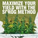 Maximisez votre rendement avec la méthode ScrOG