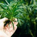 Que Faire Lorsque Votre Culture De Cannabis Ne Fleurit Pas