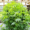 Comment Contrôler La Taille De Vos Plants De Weed