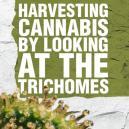Récolter le cannabis en regardant les trichomes