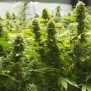Les Meilleurs Moyens D'augmenter Ses Récoltes De Cannabis