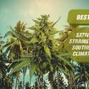 Les meilleures variétés de cannabis sativa pour les climats du sud.