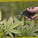 Comment et pourquoi appliquer des pulvérisations foliaires sur vos plants de cannabis?