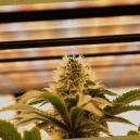 Guide complet des lampes de culture pour cannabis à autofloraison et féminisé