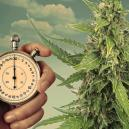 Programmes d'éclairage pour les plants de cannabis à autofloraison