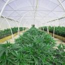 Réussir à facilement cultiver de la weed en construisant une serre
