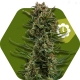 White Widow XL Autofleurissante
