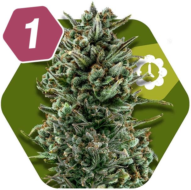 Amnesia Haze XL Autoflowering Sativa Cannabis Seeds