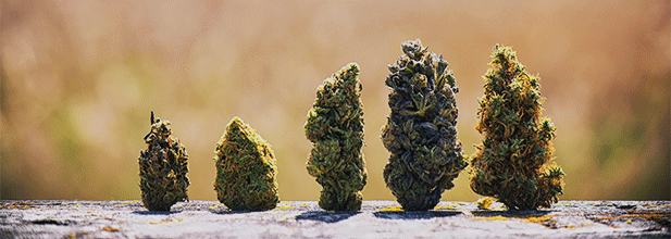 Marijuana buds from different strains