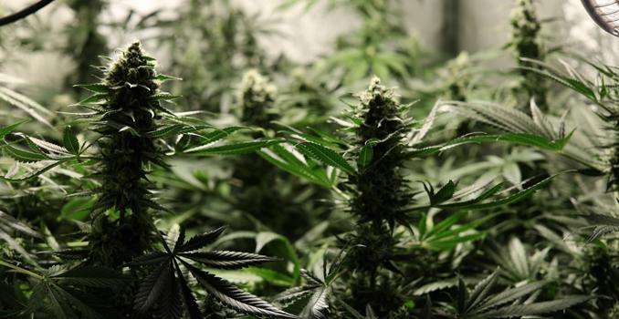 C02 culture de cannabis