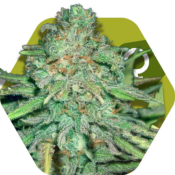 Lemon Kush Cannabis strain