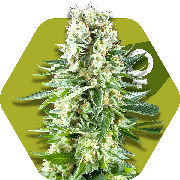 white widow cannabis strain