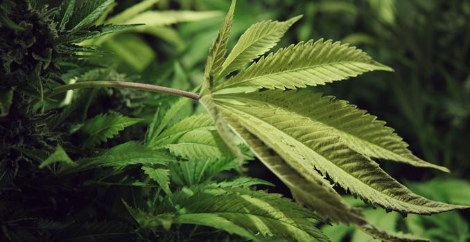 Photosynthèse cannabis plantes co2