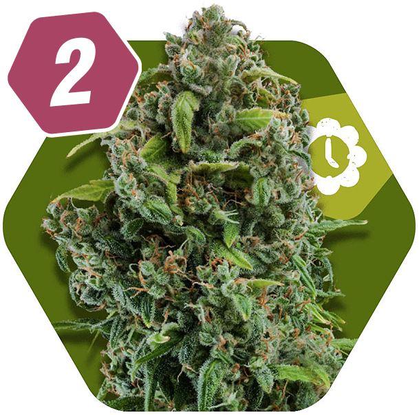 NYC Diesel Autoflowering Graines de Cannabis