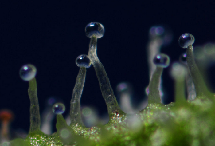 Cannabis trichomes transparents