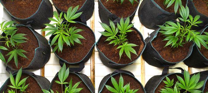 7 moyens d loigner les nuisibles des plants de cannabis for Terreau cannabis exterieur