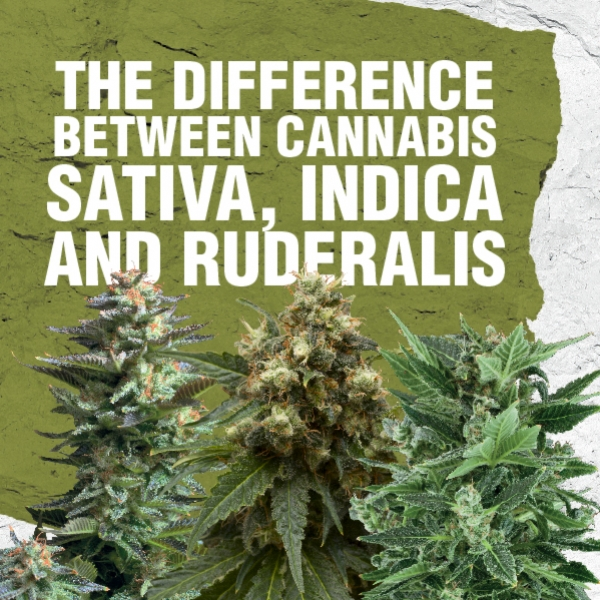 Différence entre Cannabis Sativa, Indica et Ruderalis