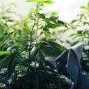 La Phase Végétative Du Cannabis
