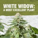 White Widow : Une plante excellente