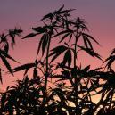 Pourquoi Le Cycle De Nuit Est Important Pour Le Cannabis
