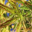 Causes Et Prévention Des Feuilles De Cannabis Sèches