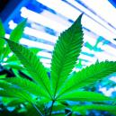 Utiliser des lampes LEC pour cultiver du cannabis