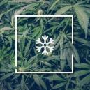Cultiver de la marijuana dans un climat froid