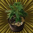 La perlite et son utilisation en culture du cannabis