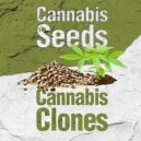 Graines de Cannabis  Vs Clones