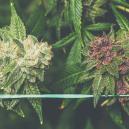 Comment cultiver du cannabis violet