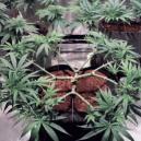 Comment faire du main-lining avec le cannabis