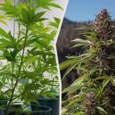 Déplacer ses plants de cannabis de l'intérieur vers l'extéri