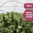 Top 4 des variétés de cannabis les plus productives de Zambe