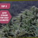 Top 5 des variétés Auto Zambeza pour climats froids