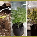 Les étapes lors d'une culture de cannabis