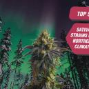 Les 5 meilleures variétés sativa pour le climat du nord