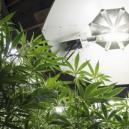 Cycles lumineux pour les plants de cannabis