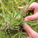 Qu'est-Ce Qui Provoque Le Stress Dans Un Plant De Cannabis?