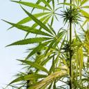 Anatomie D'un Plant De Cannabis