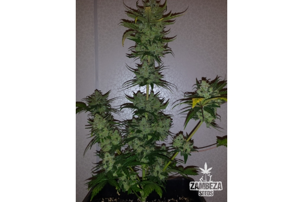 Power Plant XL Autoflowering